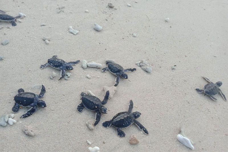 Baby turtles in the sand at Bay Canh Island