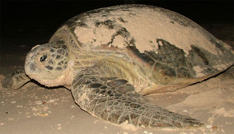 Female turtle arriving on Bay Canh beach to lay eggs